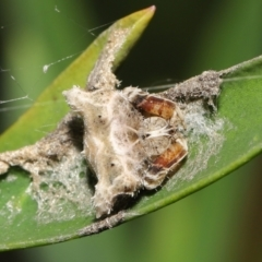 Celaenia sp. (genus) (False bird-poo spider) at Downer, ACT - 2 Apr 2021 by TimL
