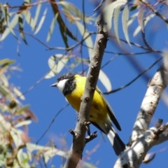 Pachycephala pectoralis (Golden Whistler) at Forrest, ACT - 13 Jul 2021 by Evie