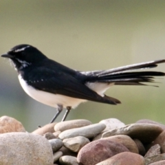 Rhipidura leucophrys (Willie Wagtail) at Springdale Heights, NSW - 13 Jul 2021 by PaulF