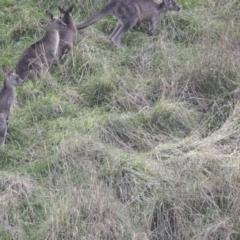 Macropus giganteus (Eastern Grey Kangaroo) at Latham, ACT - 13 Jul 2021 by AlisonMilton