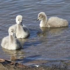 Cygnus atratus (Black Swan) at Belconnen, ACT - 12 Jul 2021 by AlisonMilton