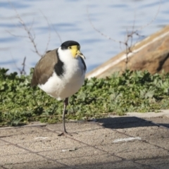 Vanellus miles (Masked Lapwing) at Belconnen, ACT - 12 Jul 2021 by AlisonMilton