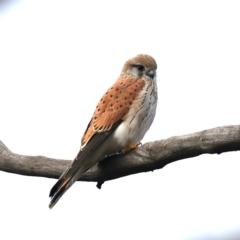 Falco cenchroides (Nankeen Kestrel) at Majura, ACT - 10 Jul 2021 by jbromilow50