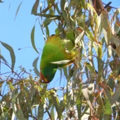 Lathamus discolor (Swift Parrot) at Kambah, ACT - 7 Jul 2021 by MatthewFrawley