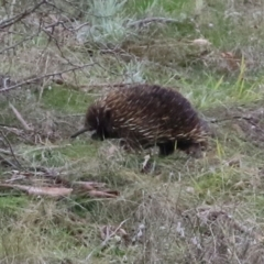 Tachyglossus aculeatus (Short-beaked Echidna) at Tennent, ACT - 13 Jul 2021 by RodDeb