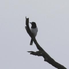 Cracticus nigrogularis (Pied Butcherbird) at Tennent, ACT - 13 Jul 2021 by RodDeb
