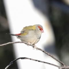 Neochmia temporalis (Red-browed Finch) at Belconnen, ACT - 12 Jul 2021 by AlisonMilton