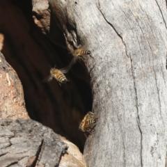 Apis mellifera (European honey bee) at Belconnen, ACT - 12 Jul 2021 by AlisonMilton