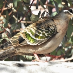 Phaps chalcoptera (Common Bronzewing) at Stromlo, ACT - 13 Jul 2021 by JohnBundock