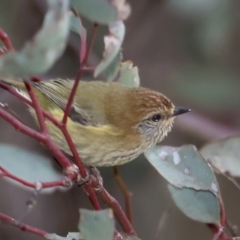 Acanthiza lineata (Striated Thornbill) at Hackett, ACT - 10 Jul 2021 by jbromilow50