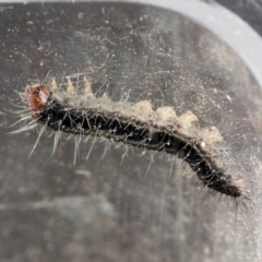 Unidentified Moth (Lepidoptera) (TBC) at Macgregor, ACT - 13 Jul 2021 by AlisonMilton