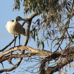 Threskiornis molucca (Australian White Ibis) at Belconnen, ACT - 12 Jul 2021 by AlisonMilton