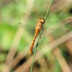 Unidentified Dragonfly (Anisoptera) (TBC) at suppressed - 28 Dec 2010 by Harrisi