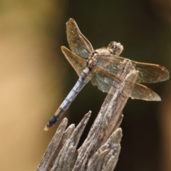 Unidentified Dragonfly (Anisoptera) (TBC) at suppressed - 21 Jan 2011 by Harrisi