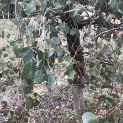 Eucalyptus polyanthemos subsp. polyanthemos (Red Box) at O'Malley, ACT - 2 Jul 2021 by Tapirlord
