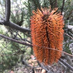 Banksia ericifolia subsp. ericifolia (Heath-leaved Banksia) at O'Malley, ACT - 2 Jul 2021 by Tapirlord