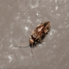 Unidentified Louse (Psocodea, Phthiraptera, several families) (TBC) at Acton, ACT - 15 Jul 2021 by Roger