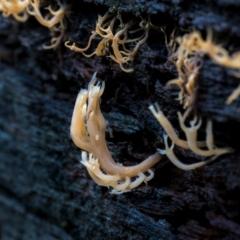 Artomyces sp. (A coral fungus) at Uriarra, NSW - 8 Jul 2021 by trevsci