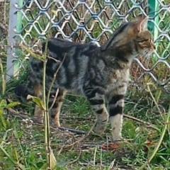 Felis catus (Feral Cat) at Stromlo, ACT - 8 Jul 2021 by ChrisHolder