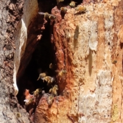 Apis mellifera (European honey bee) at Hall, ACT - 15 Jul 2021 by RodDeb