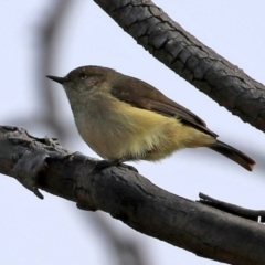 Acanthiza reguloides (Buff-rumped Thornbill) at Hall, ACT - 15 Jul 2021 by RodDeb