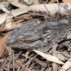 Pogona barbata (Bearded Dragon) at Downer, ACT - 12 Feb 2021 by TimL