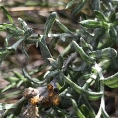 Chrysocephalum apiculatum (Common Everlasting) at Acton, ACT - 13 Jul 2021 by MattFox