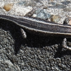 Cryptoblepharus pulcher (Fence Skink) at Blue Mountains National Park, NSW - 1 Sep 2017 by PatrickCampbell