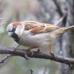 Passer domesticus (House Sparrow) at Flynn, ACT - 16 Jul 2021 by Christine
