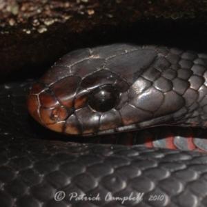 Pseudechis porphyriacus at suppressed - 6 Jun 2010