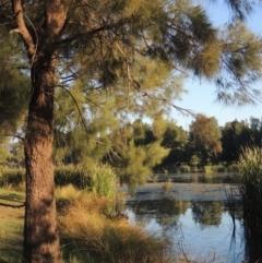 Casuarina cunninghamiana subsp. cunninghamiana (River She-oak, River Oak) at Isabella Plains, ACT - 4 Apr 2021 by michaelb