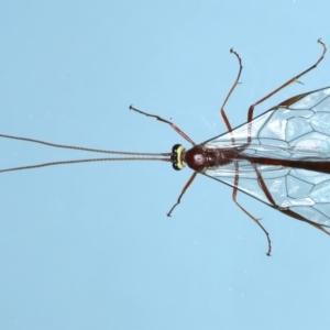 Ophion sp. (genus) at Ainslie, ACT - 13 Jul 2021
