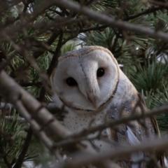 Tyto alba (Barn Owl) at Pialligo, ACT - 17 Jul 2021 by rawshorty