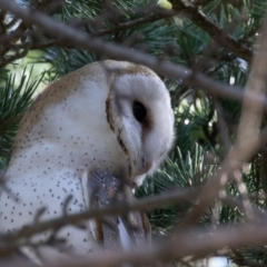 Tyto alba at Pialligo, ACT - 17 Jul 2021