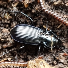 Unidentified Darkling beetle (Tenebrionidae) (TBC) at Hawker, ACT - 17 Jul 2021 by tpreston
