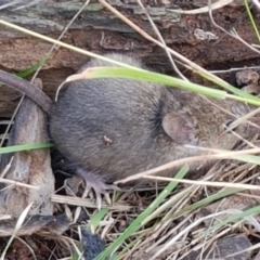 Mus musculus (House Mouse) at Hawker, ACT - 17 Jul 2021 by tpreston