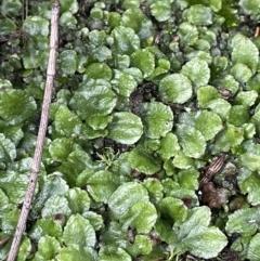 Targionia lorbeeriana (A liverwort) at Majura, ACT - 17 Jul 2021 by JaneR