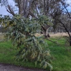 Acacia baileyana at Thurgoona, NSW - 17 Jul 2021