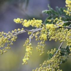 Acacia dealbata (Silver Wattle) at West Wodonga, VIC - 17 Jul 2021 by Kyliegw