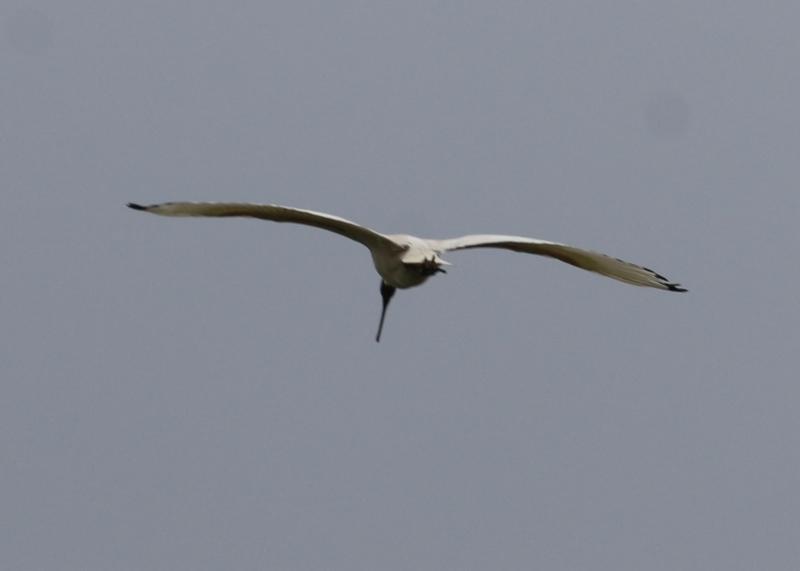 Threskiornis molucca at West Wodonga, VIC - 17 Jul 2021