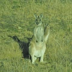 Macropus giganteus (Eastern Grey Kangaroo) at Holt, ACT - 18 Jul 2021 by wombey