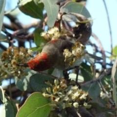 Myzomela sanguinolenta (Scarlet Honeyeater) at Jerrabomberra, NSW - 17 Jul 2021 by Paul4K