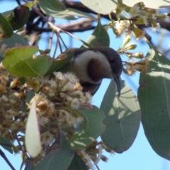 Acanthorhynchus tenuirostris (Eastern Spinebill) at Jerrabomberra, NSW - 17 Jul 2021 by Paul4K