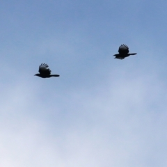 Corcorax melanorhamphos (White-winged Chough) at Castle Creek, VIC - 18 Jul 2021 by Kyliegw