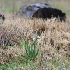 Narcissus jonquilla at Castle Creek, VIC - 18 Jul 2021