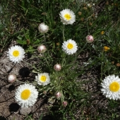 Leucochrysum albicans subsp. albicans (Hoary Sunray) at Dry Plain, NSW - 14 Nov 2020 by JanetRussell