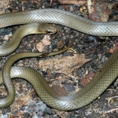 Hemiaspis signata (Swamp Snake) at Blue Mountains National Park, NSW - 9 Apr 2007 by PatrickCampbell