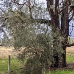 Olea europaea at Thurgoona, NSW - 17 Jul 2021