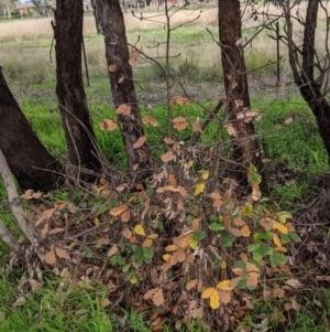 Quercus robur at Thurgoona, NSW - 17 Jul 2021