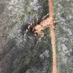 Helpis minitabunda (Threatening jumping spider) at Lyons, ACT - 5 Jul 2021 by Tapirlord